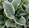 Hosta: A Top 20 Seller